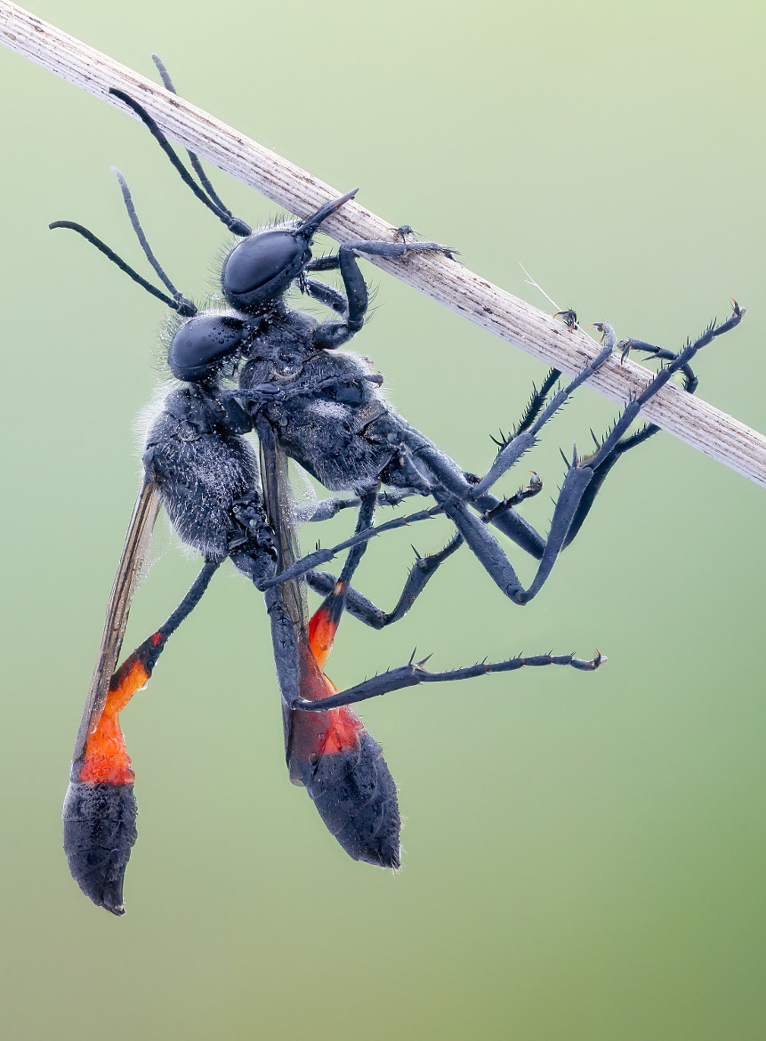 Photograph Mating Sand Wasps by John Hallmén on 500px