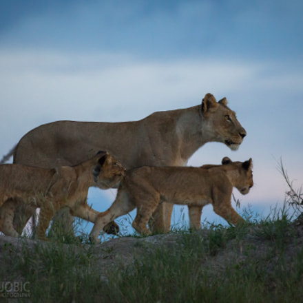Lioness with two cubs, Canon EOS-1D X, Canon EF 200-400mm f/4L IS USM