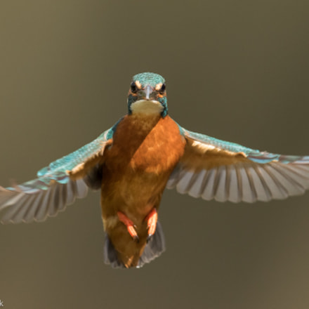 Kingfisher hovering, Canon EOS 7D MARK II, Canon EF 300mm f/2.8L IS II USM