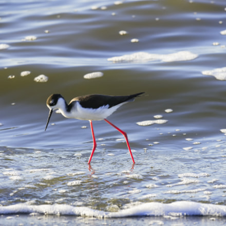 Black-necked Stilt, Canon EOS-1DS MARK II, Canon EF 600mm f/4L IS