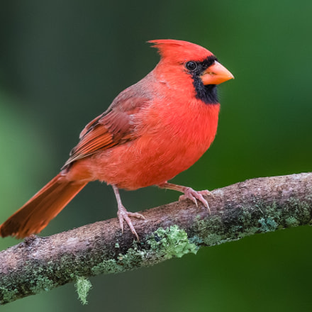Cardinal with Green Background, Canon EOS 7D MARK II, Canon EF 300mm f/2.8L IS II USM