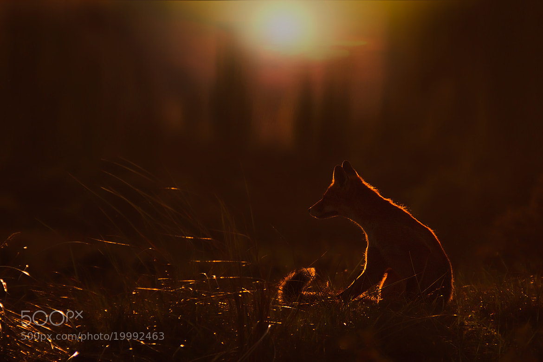 Photograph Fox in Sundown II by Rob Janné on 500px