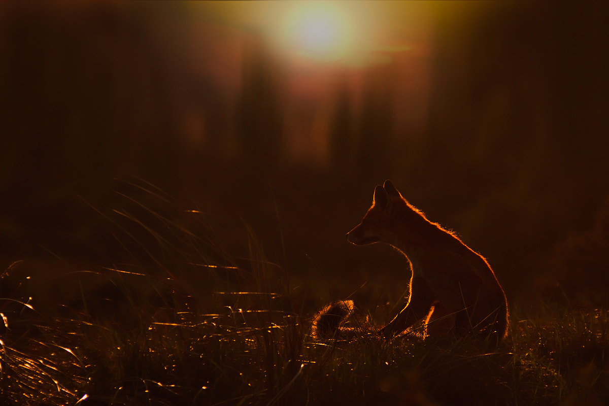 Photograph Fox in Sundown II by Rob Janné on 500px