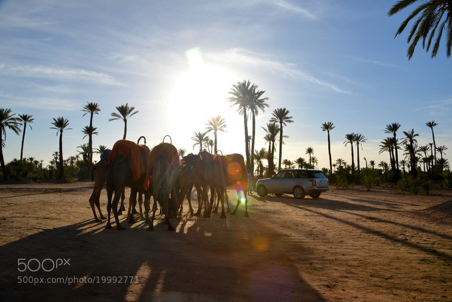 Silhouetted against a setting sun and desert palm trees, a herd of camels cast long shadows as they face the new Ship of the Desert, the 2013 Range Rover