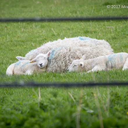 Lacock Abbey sheep, Canon EOS 7D, Canon EF 28-300mm f/3.5-5.6L IS