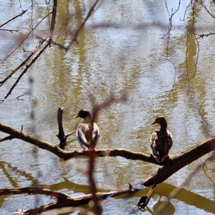Ducks standing on branches, Canon EOS REBEL T6, Canon EF 75-300mm f/4-5.6