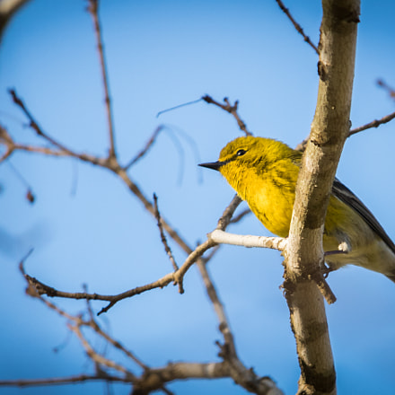 Yellow Finch in Spring, Canon EOS 80D, Canon EF-S 55-250mm f/4-5.6 IS STM
