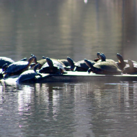 Many turtles on dock, Canon EOS REBEL T6, Canon EF 75-300mm f/4-5.6