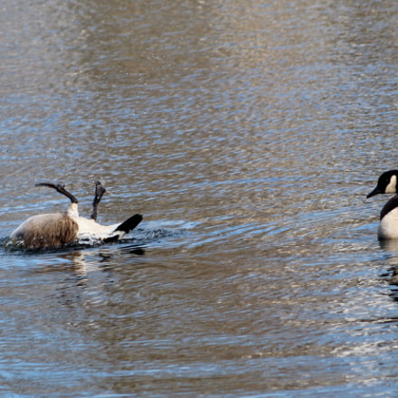 Geese bathing, Canon EOS REBEL T6, Canon EF 75-300mm f/4-5.6