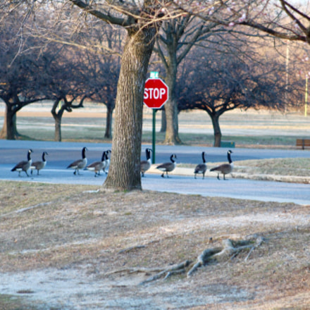 Geese crossing road stopping, Canon EOS REBEL T6, Canon EF 75-300mm f/4-5.6
