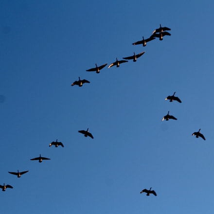 Geese flying, Canon EOS REBEL T6, Canon EF 75-300mm f/4-5.6