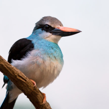 Kingfisher, Canon EOS-1D X, Canon EF 70-200mm f/2.8L IS II USM