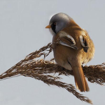 bearded tit, Canon EOS-1D X, Canon EF 400mm f/2.8L IS II USM + 1.4x