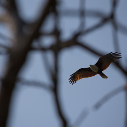 Brahminy kite hunting, Canon EOS-1D X, Canon EF 100-400mm f/4.5-5.6L IS II USM