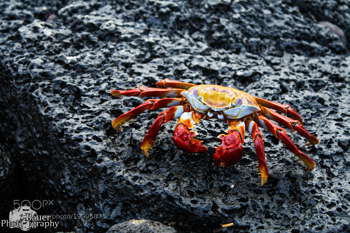 Photograph Galapgaos Crab (2) by Guy Bauer on 500px