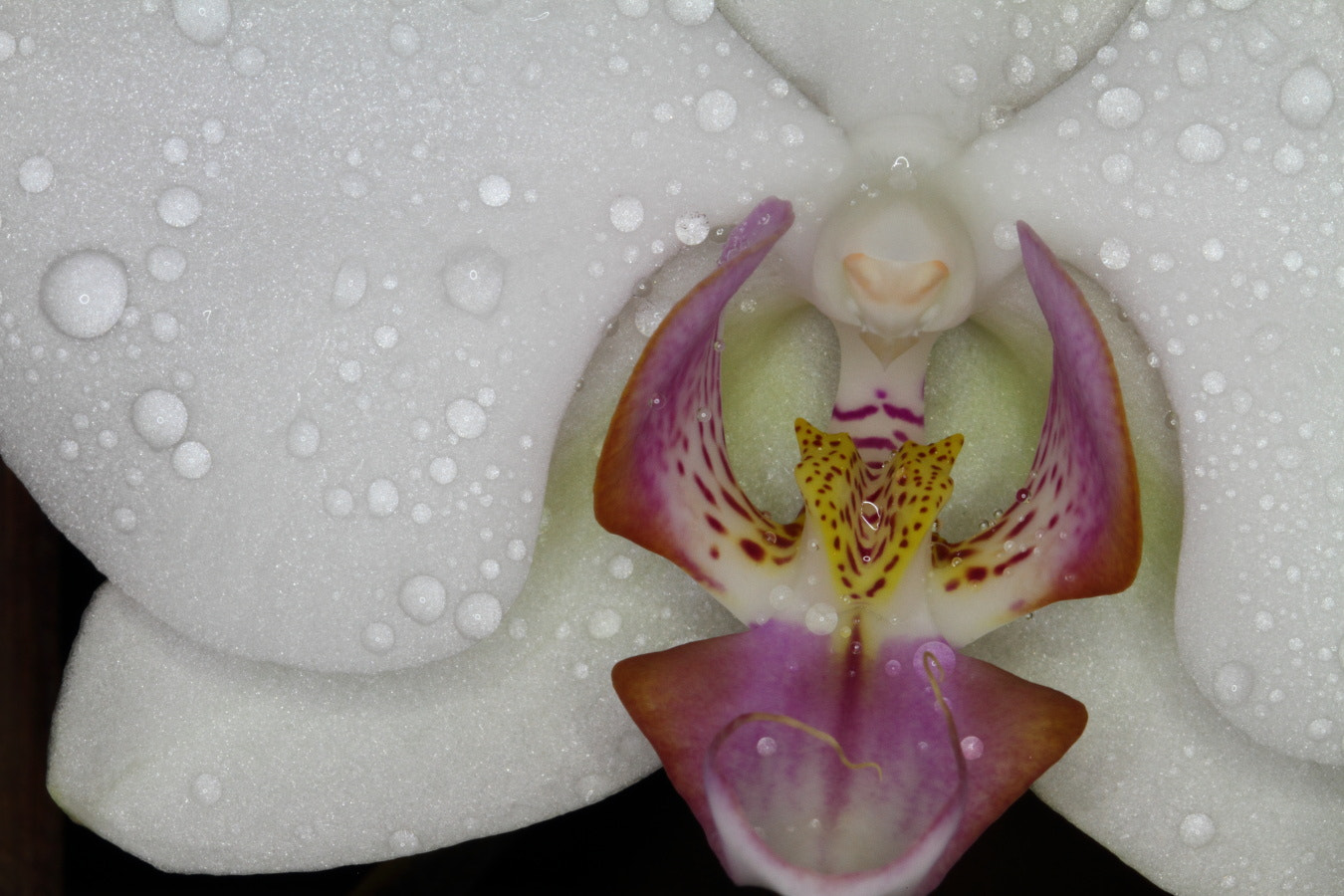 Photograph orchid by Alain Frieden on 500px