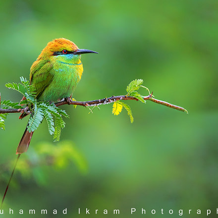 Green Bee Eater, Canon EOS 7D MARK II, Canon EF 400mm f/4 DO IS