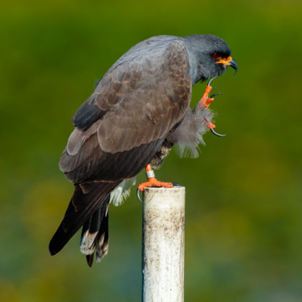 Snail Kite, Canon EOS-1D X, Canon EF 600mm f/4L IS