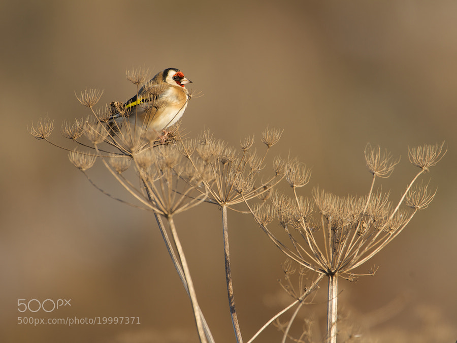 Photograph Goldfinch by Erik Veldkamp on 500px