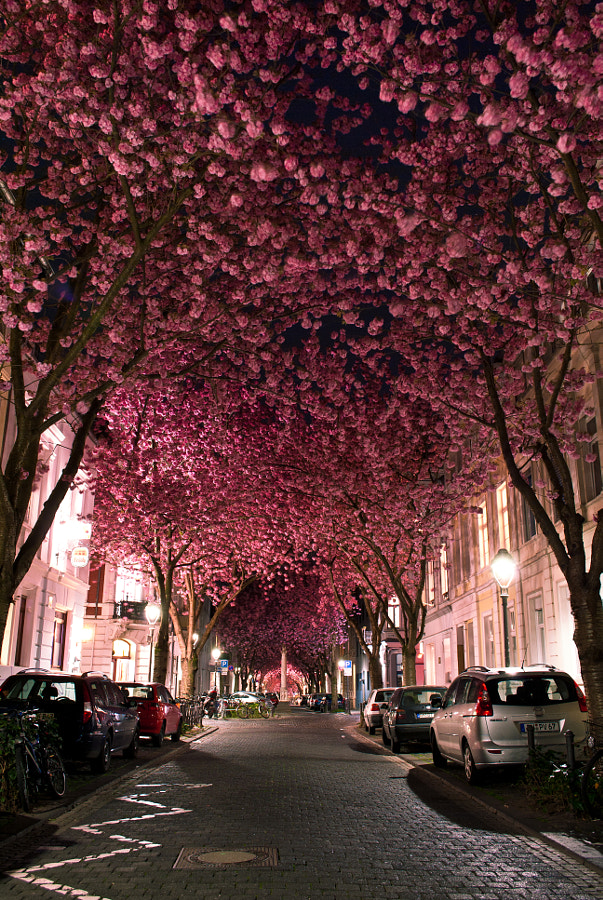 Cherry Blossom Avenue by Marcel Bednarz on 500px