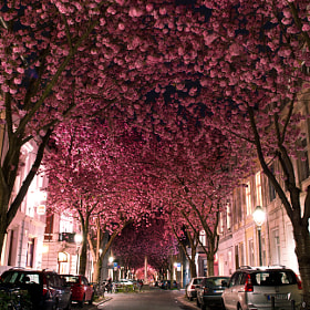Cherry Blossom Avenue by Marcel Bednarz (madewithbeefstock) on 500px.com