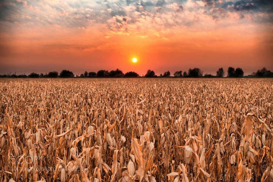 Photograph Corn Field by Igas Marius on 500px