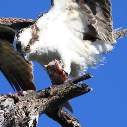 Osprey and fish, Canon EOS REBEL T3I, Canon EF 400mm f/5.6L