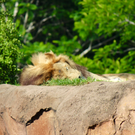 Lion resting in a, Canon EOS REBEL T3I, Canon EF-S 55-250mm f/4-5.6 IS II