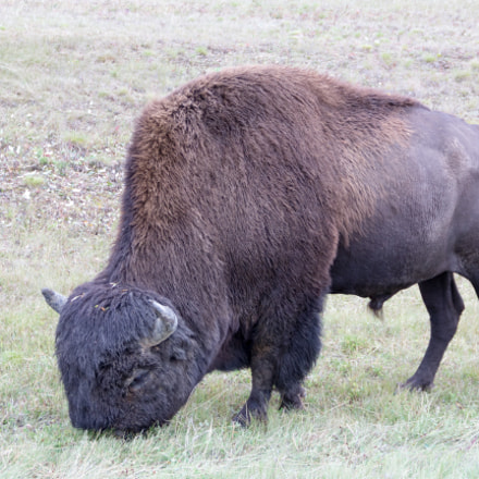 Bison, Canon EOS REBEL T3I, Canon EF-S 18-135mm f/3.5-5.6 IS