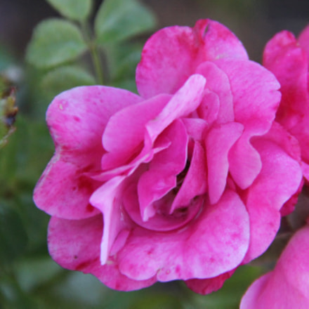 Little pink rose, Canon EOS REBEL T3I, Canon EF-S 18-135mm f/3.5-5.6 IS