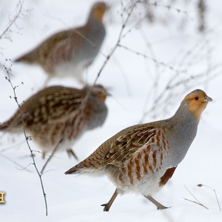 Gray Partridge, Canon EOS-1D MARK II N, Canon EF100-400mm f/4.5-5.6L IS USM