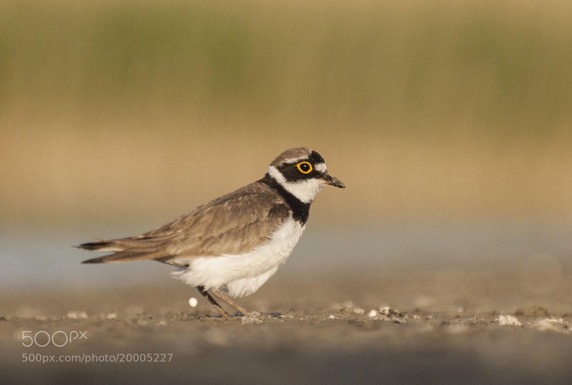Photograph Plover by Tihamér Balla on 500px