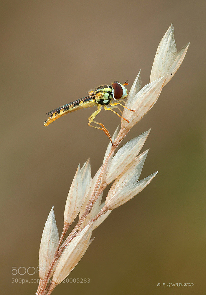 Photograph Hoverfly by Fabio Giarrizzo on 500px