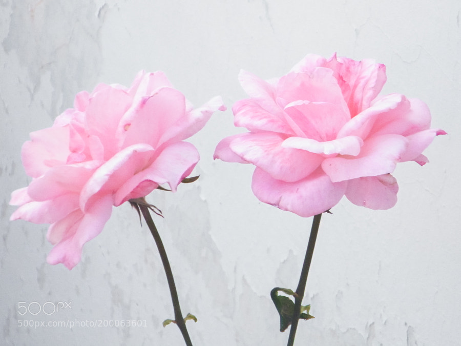 two rose