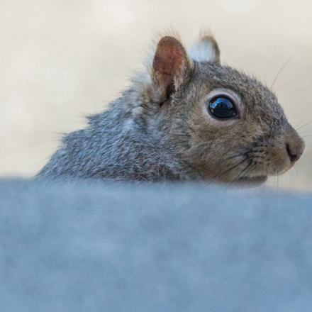 curious squirrel 7, Canon EOS 5D MARK IV, Sigma 150-500mm f/5-6.3 APO DG OS HSM