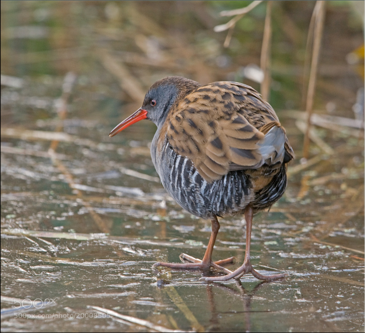 Photograph Water Rail by Ina Turner on 500px