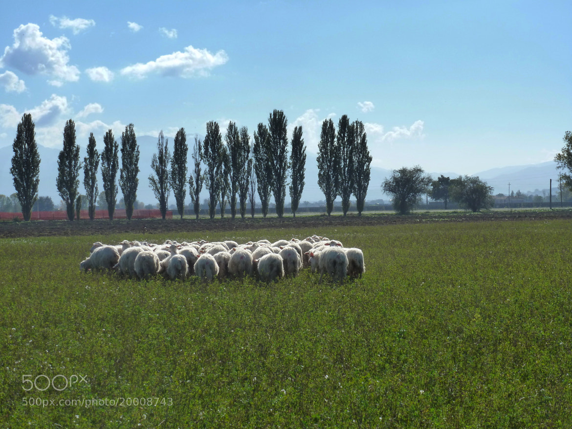 Photograph Sheep grazing by Ulderico Pontini on 500px