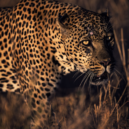 African Leopard, Canon EOS-1D X, Canon EF 400mm f/2.8L IS II USM