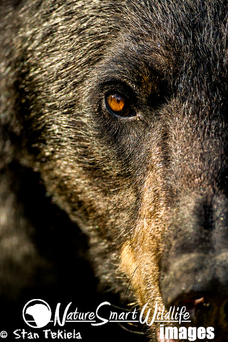 Photograph Black Bear face off by Stan Tekiela on 500px