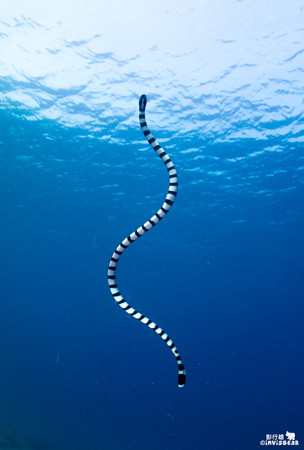 Sea Snake by invisbear on 500px.com