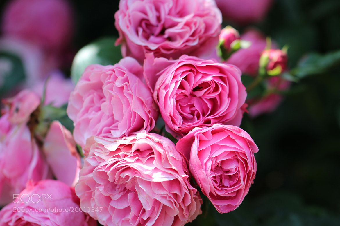 Photograph Roses by Julia H on 500px
