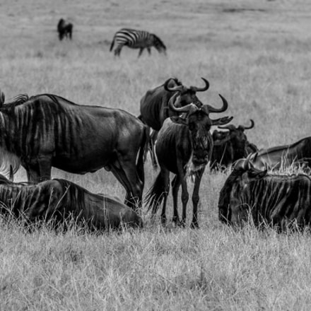 The Wildebeests of Masai, Canon EOS 7D MARK II, Sigma 150-500mm f/5-6.3 APO DG OS HSM