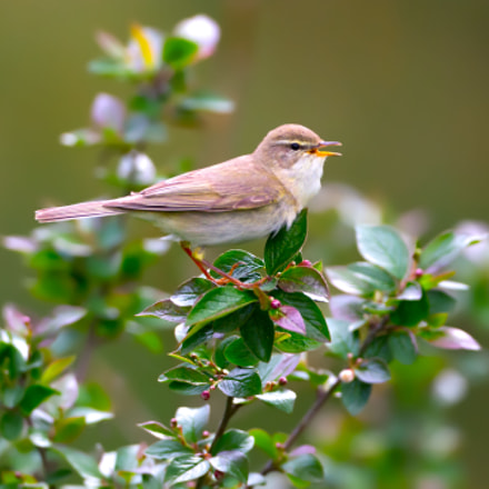 Willow warbler, Canon EOS 7D, Canon EF 500mm f/4L IS