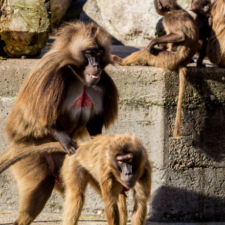 Monkey Sex ;-), Canon EOS 700D, Canon EF 70-300mm f/4-5.6 IS USM