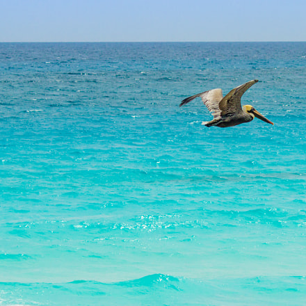 Pelican in Cancun, Canon EOS REBEL T3I, Canon EF-S 55-250mm f/4-5.6 IS II