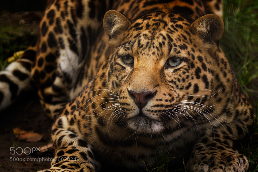 Photograph Leopard II by Denis Van Linden on 500px