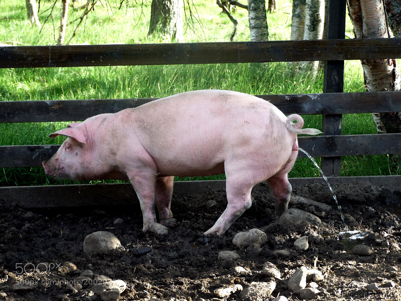 Photograph Pig by Eivind Hamran on 500px
