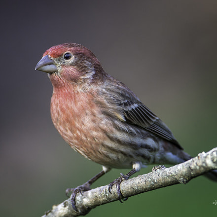 House Finch, Canon EOS-1D X, Canon EF 600mm f/4L IS