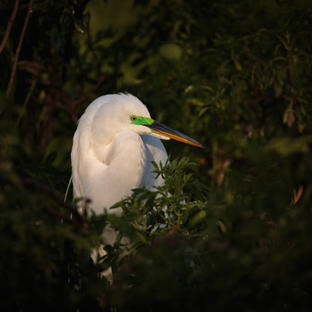 Great egret, Canon EOS 5D MARK III, Canon EF 500mm f/4L IS