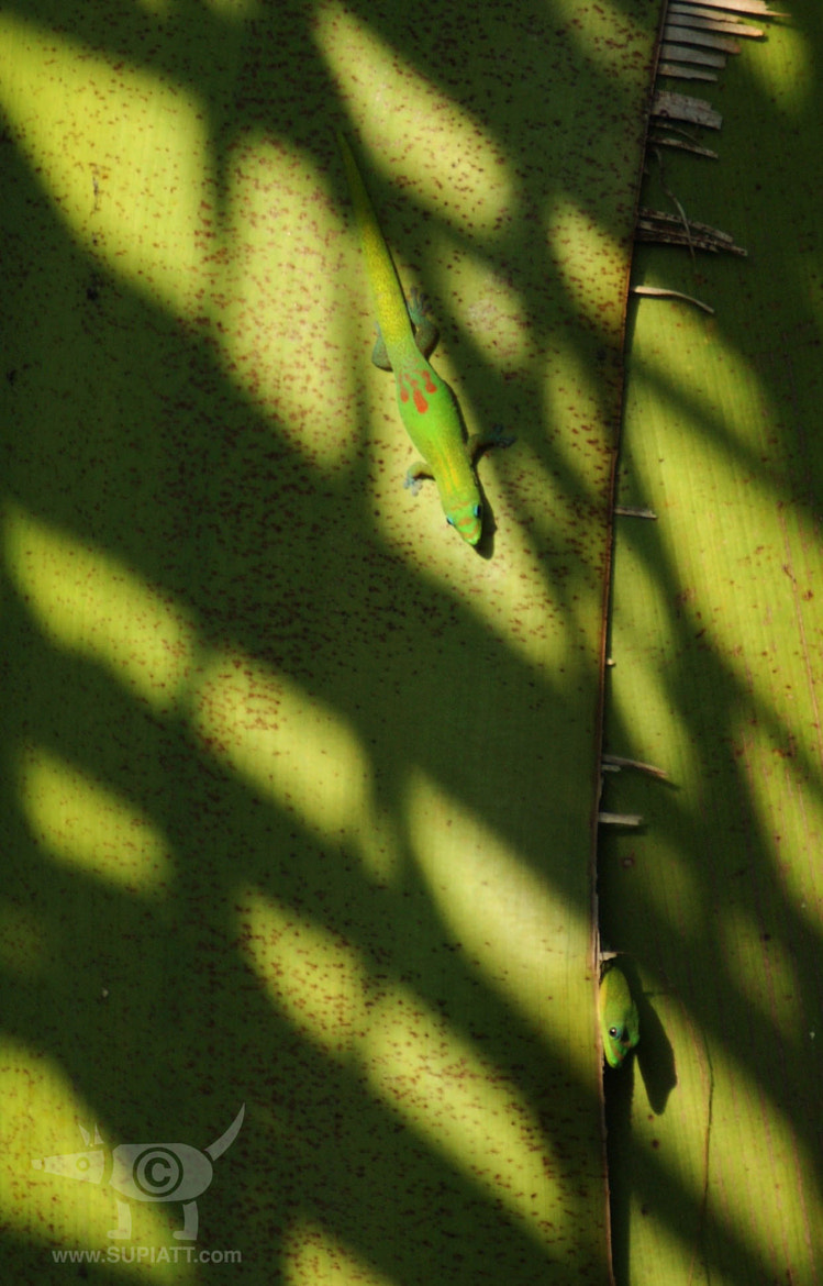 Photograph Geckos playing Hide and Hide by su piatt on 500px
